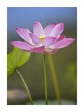 Sacred Lotus flower, native to Asia Stampe di Tim Fitzharris