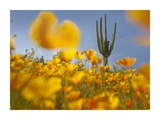 Saguaro cactus and California Poppy field at Gonzales Pass, Tonto National Forest, Arizona Posters by Tim Fitzharris