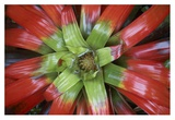 Bromeliad flower, Costa Rica Posters by Tim Fitzharris