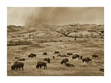 American Bison herd grazing on shortgrass prairie, Theodore Roosevelt National Park, North Dakota Prints by Tim Fitzharris