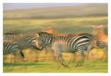 Burchell's Zebra group running, Kenya Posters by Tim Fitzharris