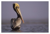 Brown Pelican adult portrait, Texas Prints by Tim Fitzharris