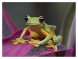 Gliding Leaf Frog portrait, Costa Rica Posters by Tim Fitzharris