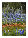 Bluebonnet and Pricky Pear cactus, Texas Prints by Tim Fitzharris