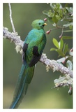 Resplendent Quetzal male, Costa Rica Affiches par Tim Fitzharris