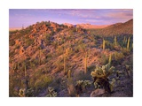 Panther and Safford Peaks covered with Saguaro and Teddybear Cholla, Saguaro National Park, Arizona Posters by Tim Fitzharris