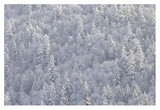Winter forest, British Columbia Posters by Tim Fitzharris