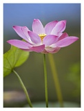Sacred Lotus flower, native to Asia Poster by Tim Fitzharris