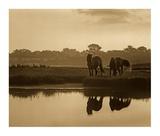 Wild Horse pair grazing at Assateague Island National Seashore, Maryland Print by Tim Fitzharris