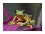 Gliding Leaf Frog portrait, Costa Rica Kunst af Tim Fitzharris