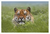 Siberian Tiger snarling, native to Russia Plakat autor Tim Fitzharris