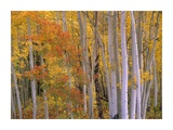Aspens at Independence Pass, Colorado Poster by Tim Fitzharris
