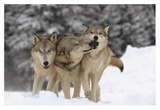 Timber Wolf trio playing in snow, Montana Posters av Tim Fitzharris
