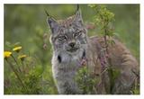 Canada Lynx portrait, North America Posters by Tim Fitzharris