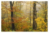 Mixed deciduous forest in autumn, Mill Brook, Vermont Poster by Tim Fitzharris