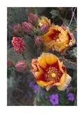 Opuntia in bloom, North America Stampa di Tim Fitzharris