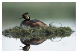 Black-necked Grebe calling while incubating eggs on floating nest, North America Affiches par Tim Fitzharris