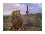 Saguaro and Giant Barrel Cactus, Saguaro National Park, Arizona Prints by Tim Fitzharris