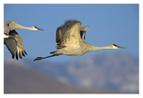 Sandhill Cranes flying, North American Reprodukcje autor Tim Fitzharris