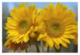 Common Sunflower flowers, North America Prints by Tim Fitzharris