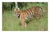 Siberian Tiger standing in green grass Poster by Tim Fitzharris