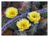 Opuntia cactus blooming, North America Poster by Tim Fitzharris