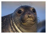 Northern Elephant Seal pup, North America Prints by Tim Fitzharris