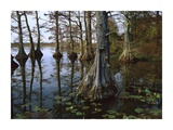 Bald Cypress at upper Blue Basin, Reelfoot National Wildlife Refuge, Tennessee Posters by Tim Fitzharris