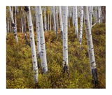 Quaking Aspen trees in autumn Prints by Tim Fitzharris