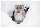 Snow Leopard adult portrait in snow Prints by Tim Fitzharris