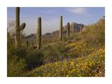Saguaro cacti and California Poppy field at Picacho Peak State Park, Arizona Prints by Tim Fitzharris
