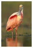 Roseate Spoonbill wading, North America Poster by Tim Fitzharris