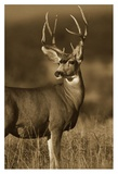 Mule Deer male in dry grass, North America Poster by Tim Fitzharris