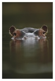 Hippopotamus at water surface, Tanzania Print by Tim Fitzharris