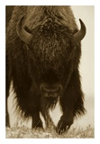 American Bison portrait in snow, North America Plakater af Tim Fitzharris