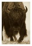 American Bison portrait in snow, North America Reprodukcje autor Tim Fitzharris
