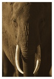 African Elephant male portrait with long tusks, Kenya Prints by Tim Fitzharris
