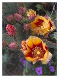 Opuntia in bloom, North America Prints by Tim Fitzharris