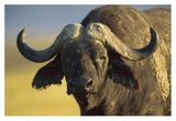Cape Buffalo portrait, Kenya Posters by Tim Fitzharris