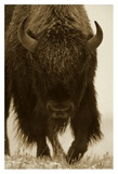 American Bison portrait in snow, North America Print by Tim Fitzharris