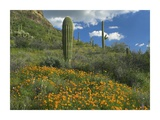 California Poppy and Saguaro cacti, Organ Pipe Cactus National Monument, Arizona Posters by Tim Fitzharris