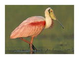 Roseate Spoonbill wading, North America Affiches par Tim Fitzharris