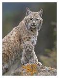 Bobcat mother and kitten, North America Prints by Tim Fitzharris