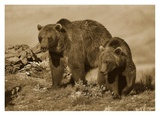 Grizzly Bear mother with a one year old cub, North America Posters by Tim Fitzharris