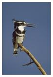 Pied Kingfisher calling, Kenya Art par Tim Fitzharris
