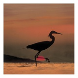 Little Egret silhouetted at sunset, Africa Posters by Tim Fitzharris
