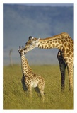 Masai Giraffe mother and young, Kenya Prints by Tim Fitzharris