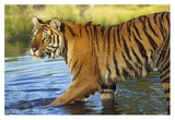 Siberian Tiger walking through a shallow river, Asia Reprodukcje autor Tim Fitzharris
