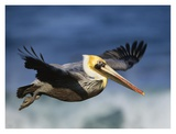 Brown Pelican flying, North America Posters by Tim Fitzharris