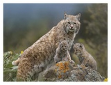 Bobcat mother and kittens, North America Art by Tim Fitzharris